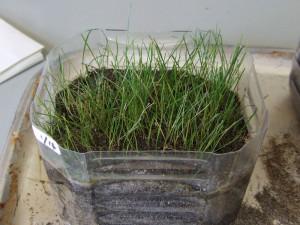 校長室のペットボトル芝生