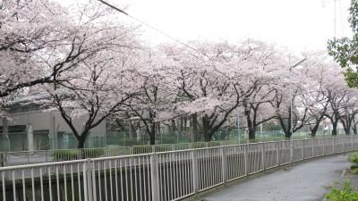 神田川沿いのさくら